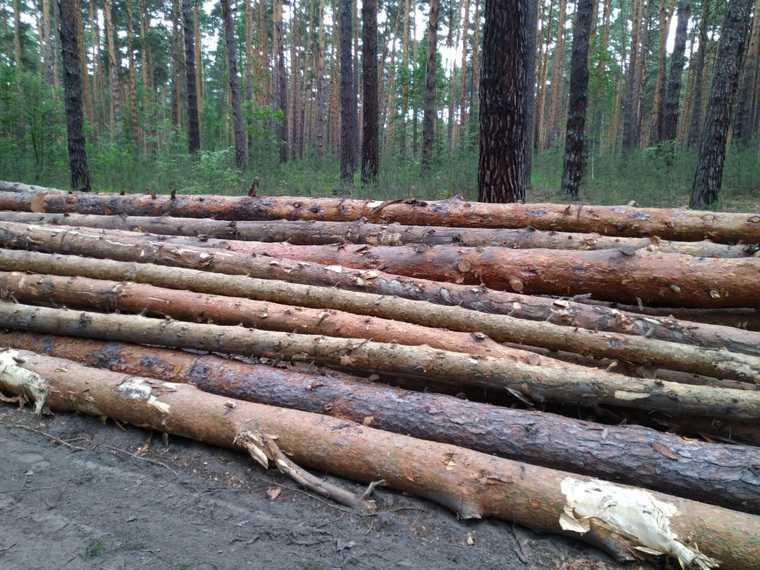 В курганском городе массово рубят лес. Свидетелям угрожают, чтобы молчали. ФОТО