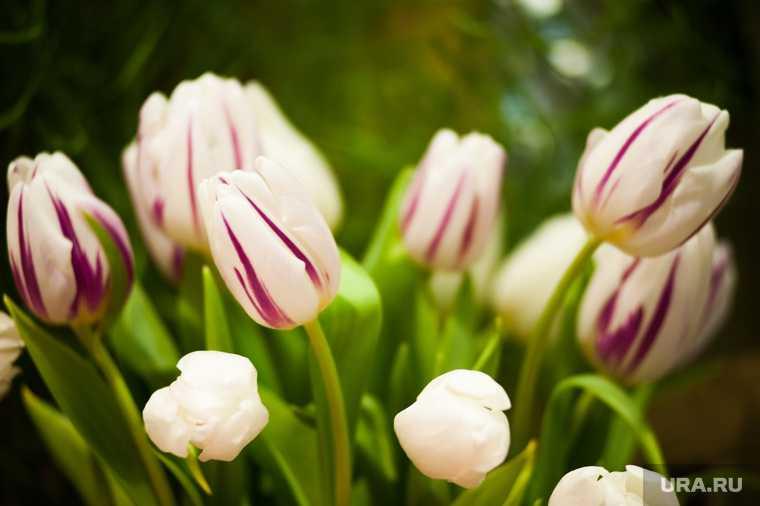 Цветы тюльпаны 8 марта Сургут Радужный