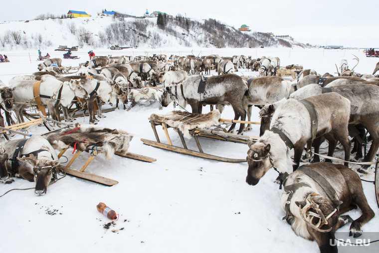Сеяхинские аборигены Ямальский район сбежавшие олени тундра